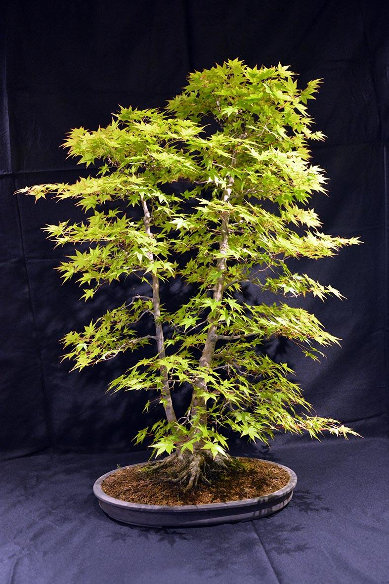Acero Blu Giapponese acero tridente acero giapponese semi bonsai bonsai seeds
